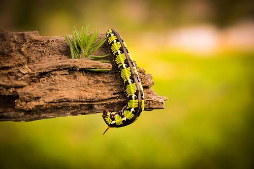 Wedding - Lizard / Lagarto