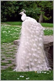 wedding photo - Bride Peacock ♥ Amazing White Peacock Like a Bride ♥ Pets in Wedding